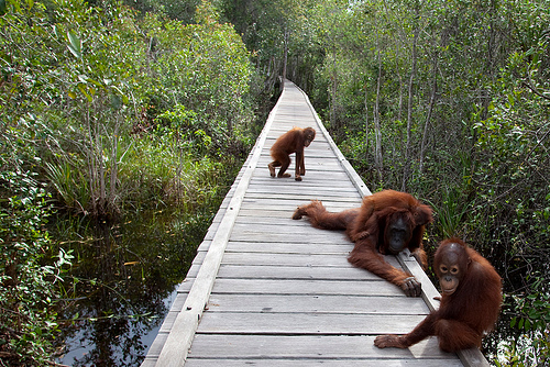 Tanjung Puting, the Sanctuary for Orangutans