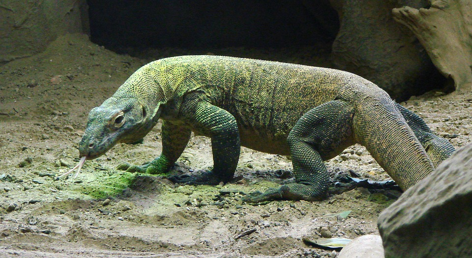 komodo-dragon-590552_960_720