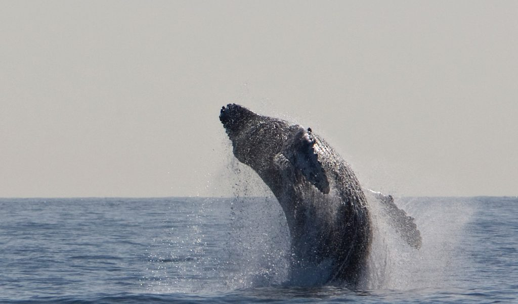 The Humpback Whale Come-Back: An Amazing Success Story